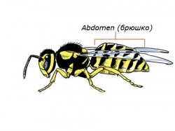 Abdomen (брюшко)