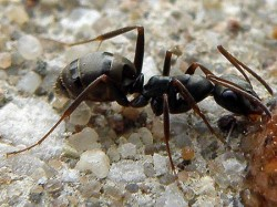 Ant (муравей)
