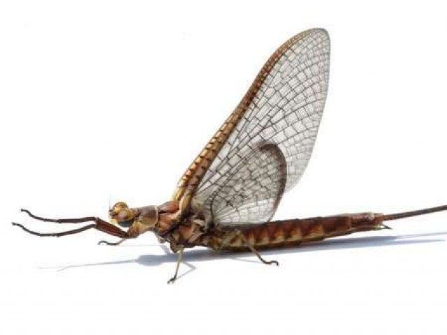Подёнки - прикладная нахлыстовая энтомология