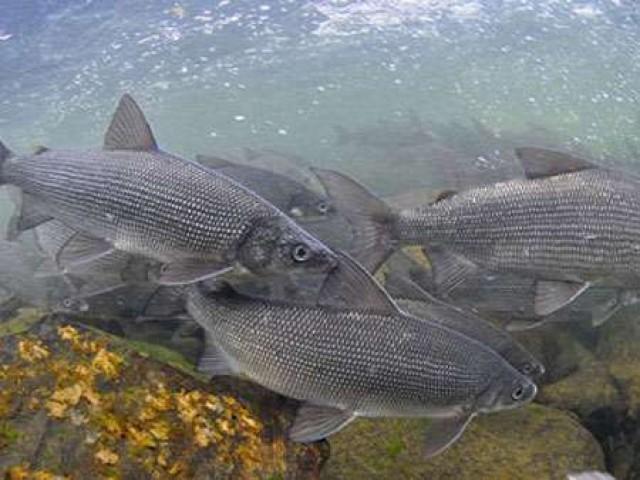Тактика и техника ловли, поднимающейся рыбы на нахлыст