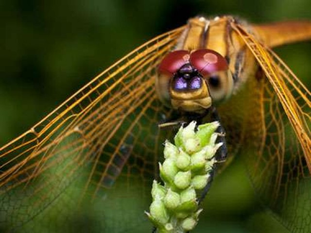 Стрекозы и их имитации - уроки нахлыстовой энтомологии